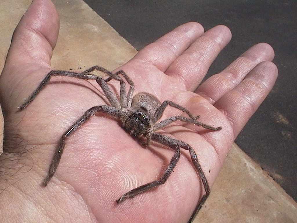 http://brokenbay.files.wordpress.com/2009/07/huntsman-spider.jpg