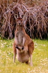 Momma with a joey in her pouch